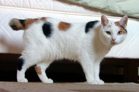 calico-manx