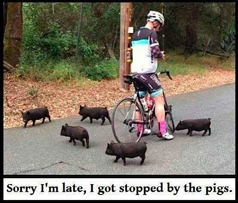 stopped-by-pigs.jpg